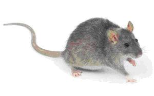 مكافحة الفئران بمكة